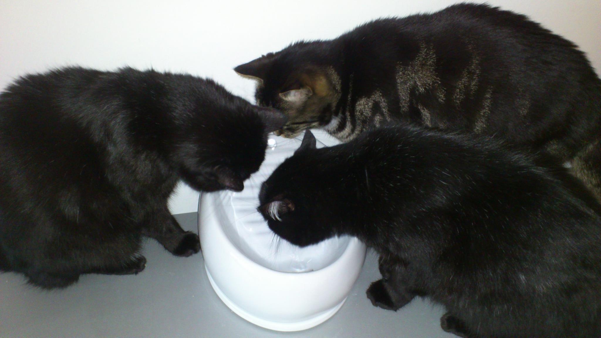 Drei schwarze Katzen trinken an unterschiedlichen Stellen aus dem Lucky-Kitty Katzenbrunnen